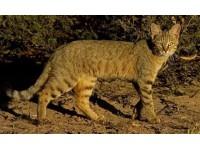 Кошка. Происхождение и история одомашнивания